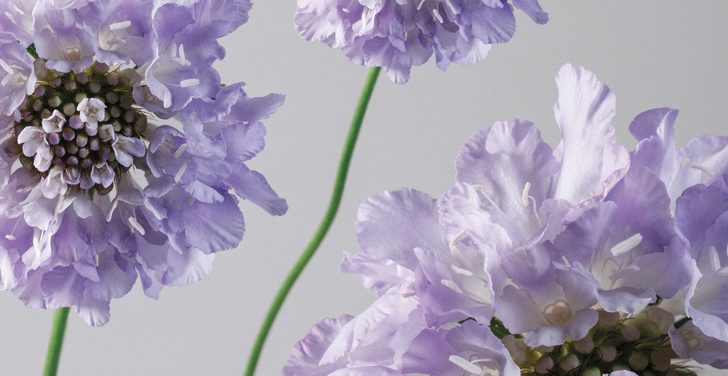 Banner image of violet scabiosa close up for the about page